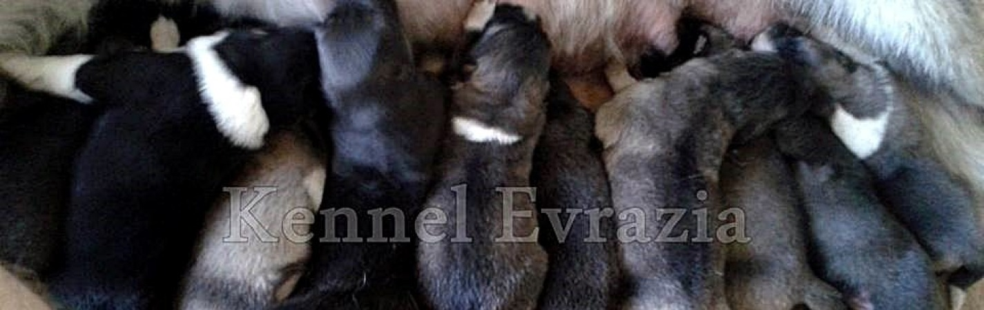 Evrazia Puppies